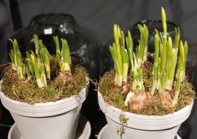 Voorjaarsbloeiende bollen en kamerplanten van Bloemsierkunst Groeneveld te Haren in gemeente Groningen