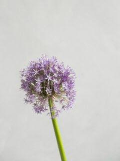 Bloemsierkunst-Groeneveld-zomerbloemen-alium