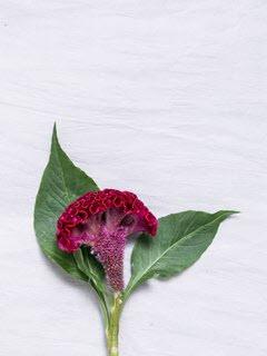 Bloemsierkunst-Groeneveld-zomerbloemen-celosia