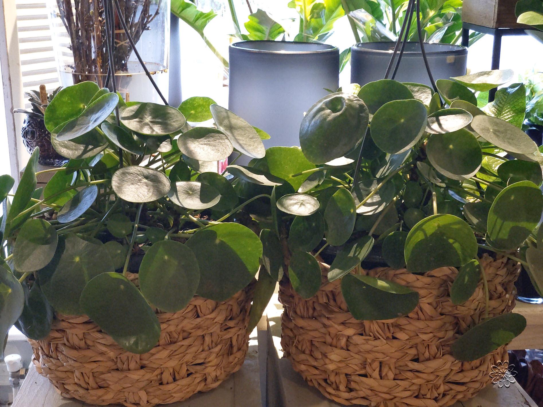Bollen en Kamerplanten